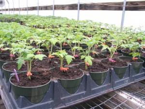 High yield tomato seedlings