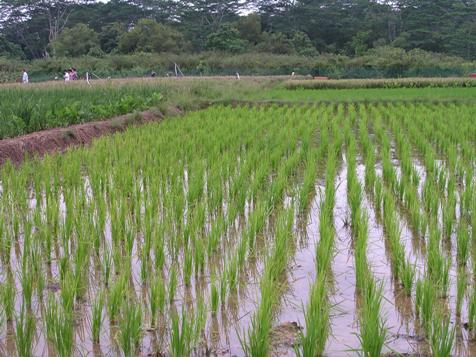 Rice Plantation in Cross River State