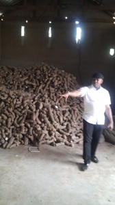 High yield yam seedlings ready for distribution to constituents