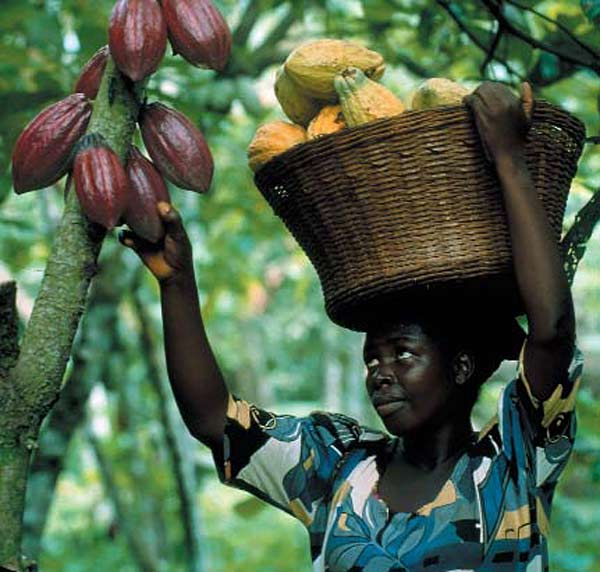coco farming Cocoa is an important commercial plantation crop of the world cocoa is a crop of humid tropics and so it was introduced as a mixed crop in.