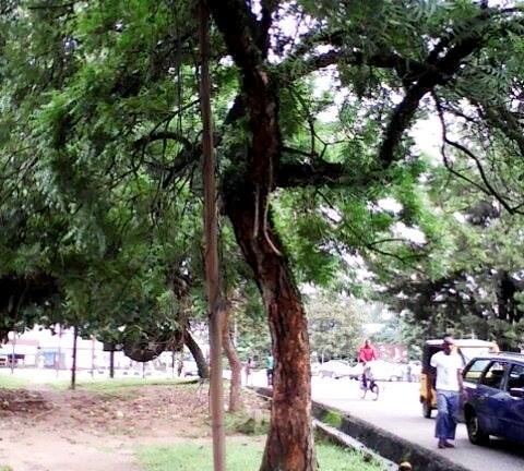 The tree the suspect allegedly climbed to wait for victims