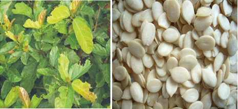 Kudiung leaf and Melon are two indispensable accompaniments of the new yam festival