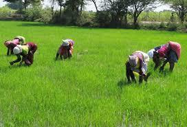 Rice farm (picture credit: Google)