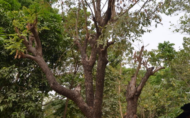 How Tree Used In Producing Guns Is Illegaly Logged In Northern Cross River